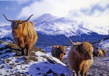 christmas card highland cattle 1024